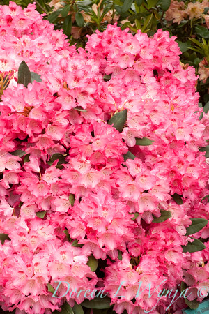 880 Rhododendron Anna Rose Whitney_002