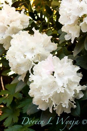 1052 Rhododendron x Yaku Princess_001
