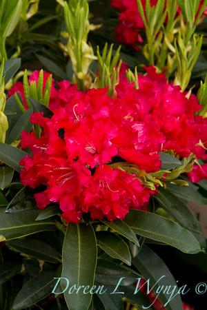 950 Rhododendron x Jean Marie de Montague_003