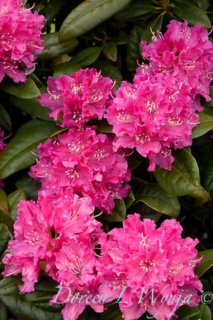 1007 Rhododendron Rocket_002