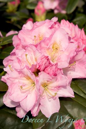 1022 Rhododendron Scintillation_015