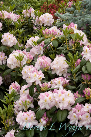 943 Rhododendron x Gomer Waterer_004