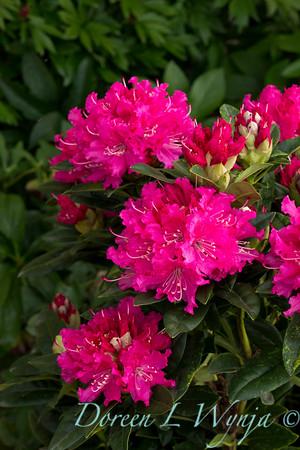1014 Rhododendron Rocket Tuckett_003