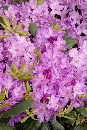 905 Rhododendron catawbiense Boursault_002_72ppi
