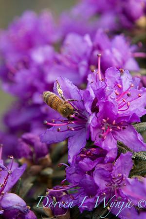945 Rhododendron impaditum_020