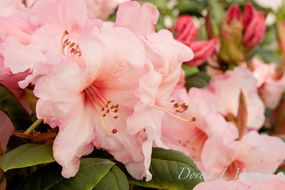 1035 Rhododendron Virginia Richards_007
