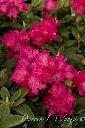 1622 Rhododendron Hellikki_003