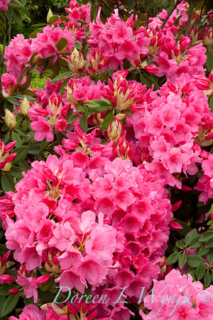 880 Rhododendron Anna Rose Whitney_031
