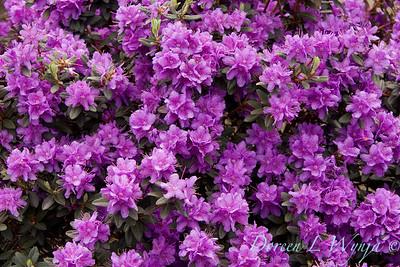 1005 Rhododendron Ramapo_006