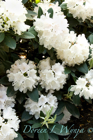 1052 Rhododendron x Yaku Princess_002