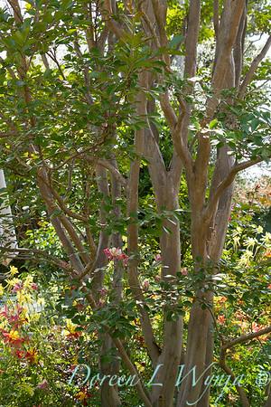 Lagerstroemia bark - Aquilegia skinneri 'Tequila Sunrise' flowers_011