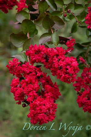 Lagerstroemia indica 'Whit II' - Dynamite_5129