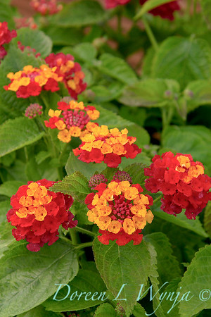 Lantana Cherry Sunshine_004