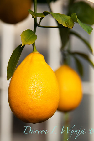 Lemon_005