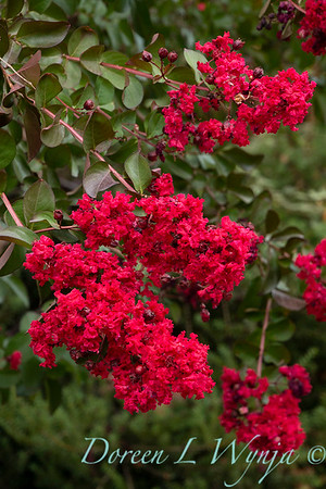Lagerstroemia indica 'Whit II' - Dynamite_5124