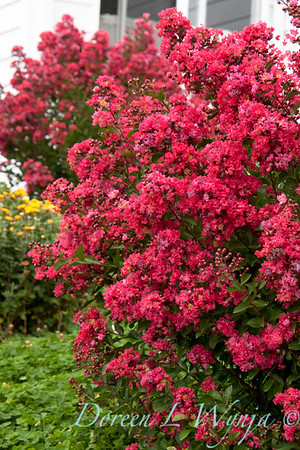 Lagerstroemia Chica Red_003