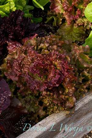 Lettuce_008