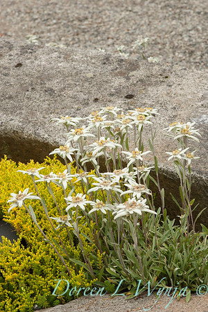 2148; edelweiss; Leontopodium; Leontopodium alpinum; wildflower of the Swiss Alps