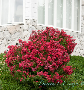 Lagerstroemia Chica Red_001