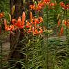 Lilium lancifolium_3556_Doreen Wynja