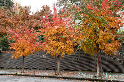 Lagerstroemia fall color along a sidewalk - slatted wood fence_1427