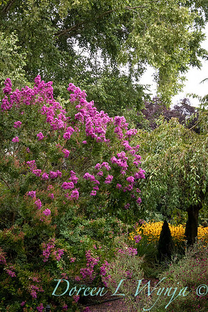 Lagerstroemia indica 'Monhid' landscape_9521