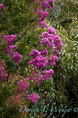 Lagerstroemia indica 'Monhid'_9527