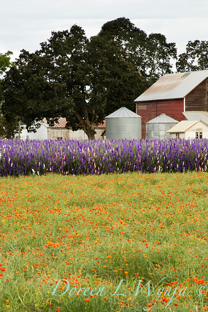 Larkspur California Poppy meadow_001