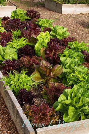 Lettuce_002