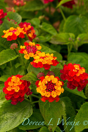Lantana Cherry Sunshine_006