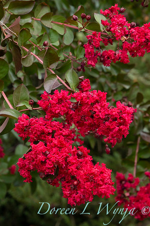 Lagerstroemia indica 'Whit II' - Dynamite_5123