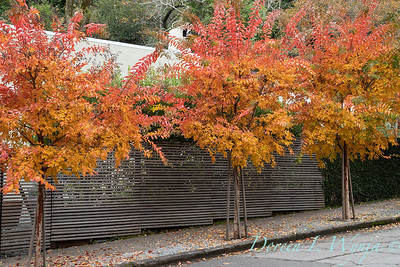 Lagerstroemia fall color along a sidewalk - slatted wood fence_1428