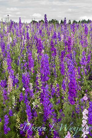 Larkspur meadow_006