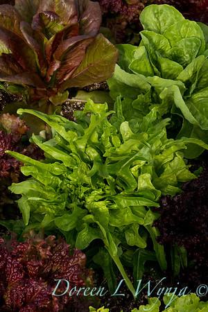 Lettuce_006