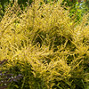 Lonicera nitida Baggescens Gold_012