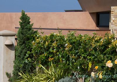 Lonicera japonica 'Halliana'_0489