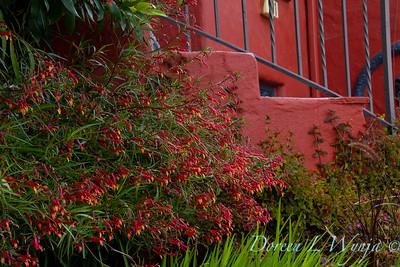 Lobelia laxiflora ssp  angustifolia_2241