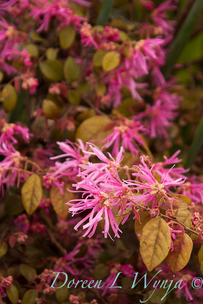 Loropetalum chinense_025