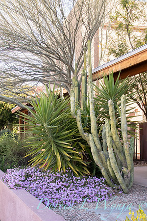 Lophocereus schottii var  monstrosus  'forma mieckleyanus' - Lantana montevidensis - Yucca gigantea xeriscape_2582
