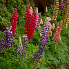 Lupinus x russellii 'Band of Nobles' Mix_3533_Doreen Wynja