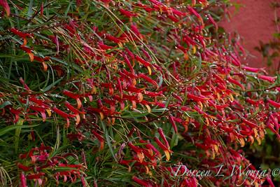 Lobelia laxiflora ssp  angustifolia_2243