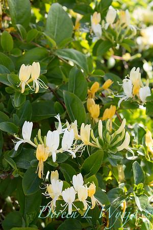 Lonicera japonica 'Halliana'_0478