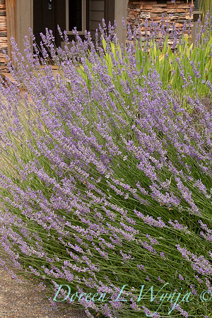 Lavandula x intermedia 'Provence'_7313