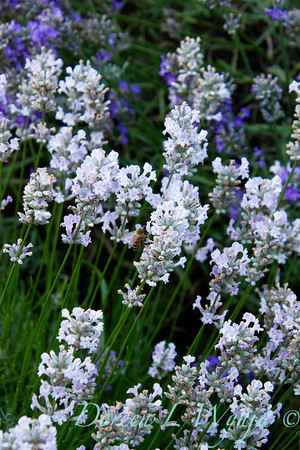 Lavandula angustifolia Little Lottie_001
