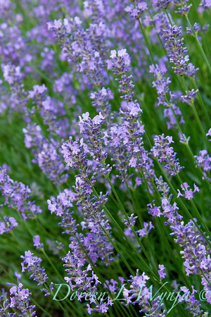 Lavandula Norfolk_006