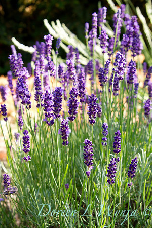 Lavandula Betty's Blue_001