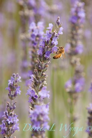 Lavandula intermedia Provence_014