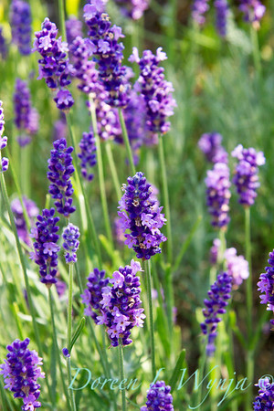 Lavandula Betty's Blue_007
