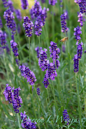Lavandula Betty's Blue_013