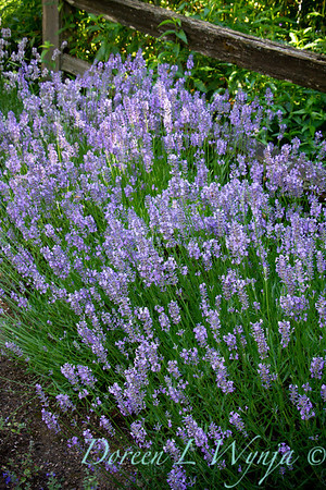 Lavandula Norfolk_001